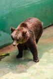 Еда бурого медведя ждать Стоковые Фото