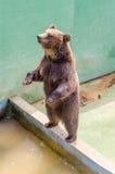 Еда бурого медведя ждать Стоковые Изображения RF