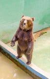 Еда бурого медведя ждать Стоковая Фотография RF