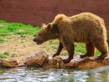 Еда бурого медведя Стоковое фото RF