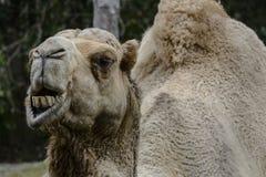 Еда верблюда зоопарка Майами Стоковое Изображение
