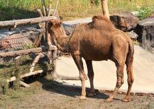 Еда верблюда Стоковое Изображение