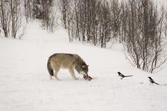 Еда волка Стоковое Фото