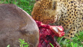 Еда гепарда молит акции видеоматериалы