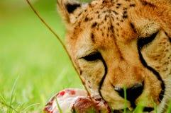 Еда гепарда Стоковые Изображения