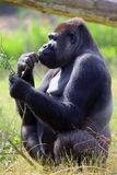Еда гориллы Стоковое фото RF