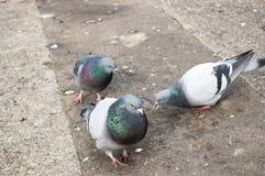Еда голубей на улице стоковая фотография