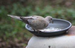 Еда голубя черепахи Стоковые Фотографии RF