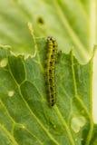 Еда гусениц Стоковые Фотографии RF