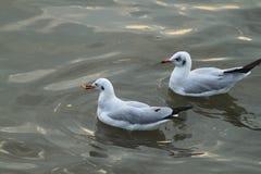 Еда есть от белой чайки плавая с солнечностью Стоковое Изображение RF