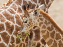 еда детенышей giraffe Стоковые Изображения RF