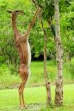еда женского gazelle Стоковые Фотографии RF
