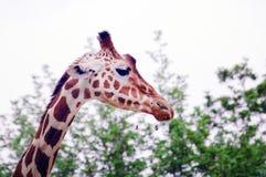 Еда жирафа балуя листья Стоковое Изображение RF