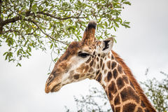 Еда жирафа в Kruger Стоковая Фотография RF