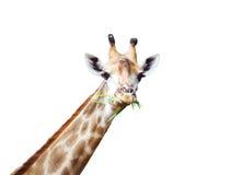 Еда жирафа изолированная на белизне Стоковое Фото