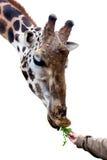 Еда жирафа Стоковая Фотография RF