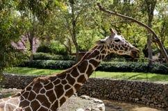 Еда жирафа Стоковое Изображение RF