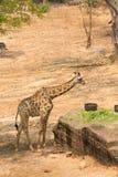 Еда жирафа Стоковое фото RF