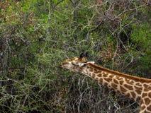 Еда жирафа Стоковая Фотография