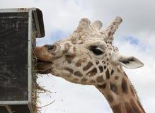 Еда жирафа Стоковое Изображение