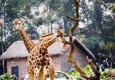 Еда жирафа Стоковые Изображения