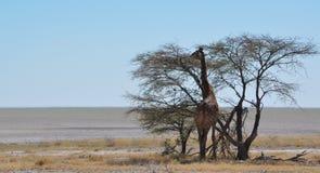 Еда жирафа Стоковые Фото