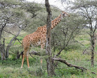 Еда жирафа Masai Стоковая Фотография