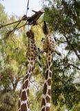 Еда 2 жирафов Стоковые Изображения RF