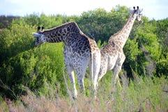 Еда жирафов Стоковые Изображения