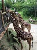 Еда жирафов Стоковое Фото