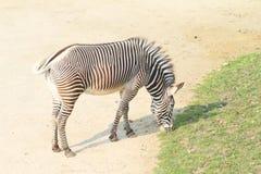 Еда зебры Стоковые Изображения