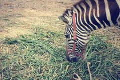 Еда зебры Стоковые Фотографии RF