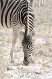 Еда зебры Стоковые Изображения RF