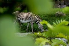Еда зебры Стоковая Фотография