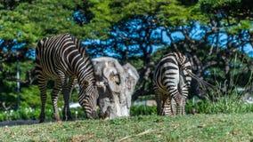 еда зебр травы Стоковое Изображение