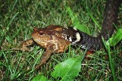 еда змейки лягушки Стоковые Изображения
