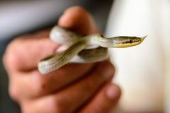 еда змейки лягушки Стоковые Изображения RF