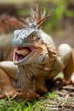 еда игуаны Стоковые Фото