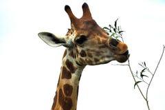 еда листьев giraffe Стоковые Фото