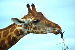 еда листьев giraffe Стоковые Изображения