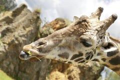 еда листьев giraffe Стоковое Фото