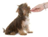 Еда йоркширского терьера щенка шоколада Стоковое Фото
