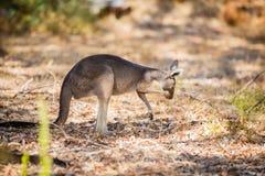 Еда кенгуру в одичалом Стоковая Фотография RF