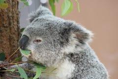 Еда коалы Стоковое фото RF