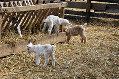 Еда козы младенца Стоковое Изображение