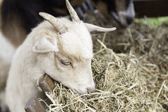 Еда козы Стоковое Изображение