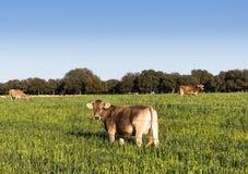 Еда коровы в поле Стоковые Изображения