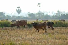 еда коровы Стоковая Фотография