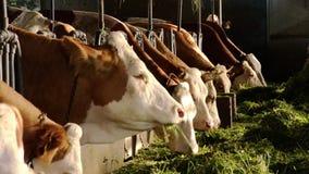 Еда коров сток-видео