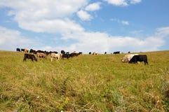 еда коров Стоковые Изображения